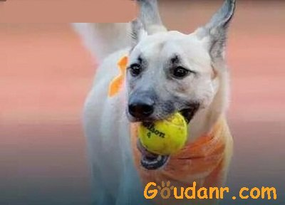 狗狗捡球员