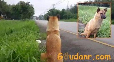 泰国版忠犬八公不幸遭车撞死,曾路边等待主人一年
