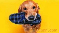 狗狗喜欢乱咬拖鞋该怎么办呢?