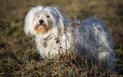 贵族宠儿-哈瓦那犬