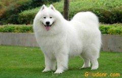 微笑天使-萨摩耶犬